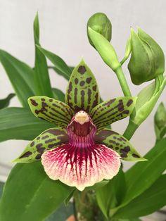 Galeopetalum Starburst \'Parkside\' AM/AOS (Galeottia fimbriata x Zygopetalum Jumpin Jack) Z-22529 | Flickr - © Orchids by Hausermann