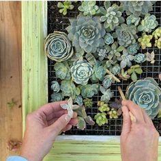 Preparar un pequeñojardín verticalcon suculentas es una tarea sencilla y fácil de realizar. La propuesta que les presentamos es además muy decorativa y podemos usarla para dar un toque verde a...
