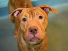 TO BE DESTROYED 11/26/14 Brooklyn Center   My name is CHIEF. My Animal ID # is A1020723. I am a male brown and white pit bull mix. The shelter thinks I am about 1 YEAR   I came in the shelter as a STRAY on 11/15/2014 from NY 11355, owner surrender reason stated was STRAY.