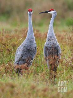 Sandhill Crane (Aix Sponsa) Pair, Myakka River State Park, Florida Photographic Print by Scott Leslie/Minden Pictures at Art.com