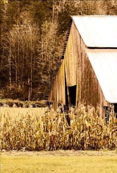 Sepia Barn  Corn Field