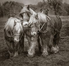 Perfectly Matched: three team of draft horses plowing a field in Belgium - by Gigi Embrechts, USA/Belgian