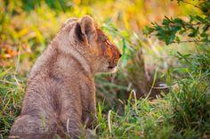 Young Lion King. | Masai Mara. | Kenya. |  More www.shop.ingogerlach.de