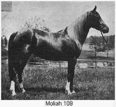 Pedigree for Moliah, photos and offspring from the All Breed Horse Pedigree Database. Arabian Stallions, Arabian Horses, Horse Pictures, Horse Breeds, Beautiful Horses, Mans Best Friend, Egyptian, Funny Cats, Lineage