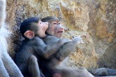PAPIONES #Zoologico de #Cali #CaliCo #Colombia #Turismo #SomosTurismo Cali Colombia, Animals, Parks, Tourism, Animales, Animaux, Animal, Animais