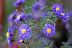 September birth flower