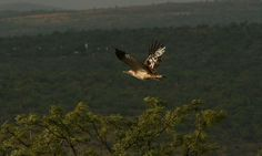 Makweti Safari Lodge is ideally positioned to explore the entire Welgevonden Game Reserve on the open safari vehicles accompanied by the professional game rangers. Game Lodge, Close Encounters, Game Reserve, Lodges, Bald Eagle, South Africa, Safari, Wildlife, Cabins