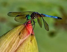 """Blue Dasher"" Photography by Diane:  http://www.dianekroupa.com/Photos-to-Frame/Dragonflies-of-Missouri/12988051_2DNFkP/1469239655_MKXgr4X#!i=1219352119&k=MoUyM"