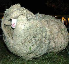 We can learn from Shrek's trek. This wayward sheep ran away from his owner in New Zealand six years ago and wandered the high country, living in caves. While away from the fold, Shrek grew an amazing 60 pounds of wool.