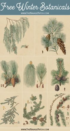 These 10 free winter botanical printables have a timeless, vintage look, and they're perfect to display all winter long on a gallery wall or individually! Vintage Botanical Prints, Vintage Art Prints, Botanical Drawings, Botanical Art, Botanical Posters, Free Printable Art, Free Printables, Printable Vintage, Christmas Drawing