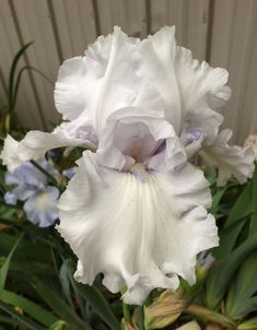 Photo of the bloom of Tall Bearded Iris (Iris 'Larissa') Iris Flowers, Exotic Flowers, Beautiful Flowers, Iris Garden, Garden Plants, Portland Garden, Native American Art, American Indians, American History