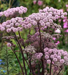 Angelica stricta  'Purpurea'  Zone: 5