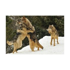 wolves | Tumblr ❤ liked on Polyvore featuring animals, wolves, backgrounds and pictures