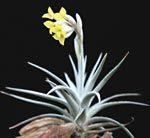 Tillandsia ixioides www.doetterer.de