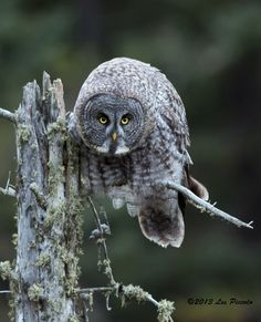 Great Gray Owl 2 by Les-Piccolo.deviantart.com on @DeviantArt