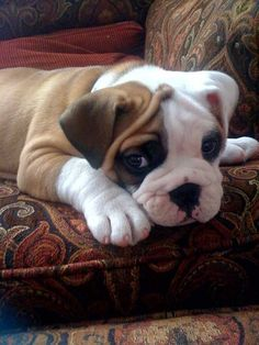 Cute Little Bastard Cute Bulldog Puppies, Cute Bulldogs, Tiny Puppies, Boxer Puppies, Little Puppies, Cute Baby Animals, Animals And Pets, I Love Dogs, Cute Dogs