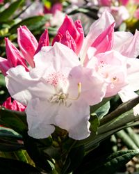 Southgate® Grace™ Rhododendron