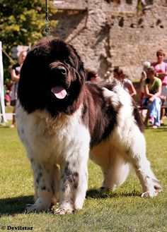 Landseer Newfoundland.  One day I will have a Landseer, (when I convince my wife). lol  Well it finally happened.  Now have a beautiful rescued white/brown Newfie.  Guinness--what better name???