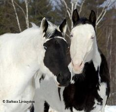 These two horses, especially shown together, are reallyunusual. The one on the right is a Splashed White. Both have blue eyes. However the one on the left is not, due to the white not on the face past the eyes. So, without seeing the rest of the horse, it is only speculation. I would guess Overo.     Photo by Barbara Livingston.