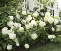 Smooth hydrangea (Hydrangea arborescens), also sometimes called hills of snow or snowball hydrangea, is an especially easy-growing type that's native to areas of North America
