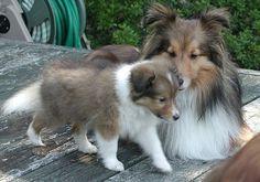 shetland sheepdog puppy with its mommy.JPG