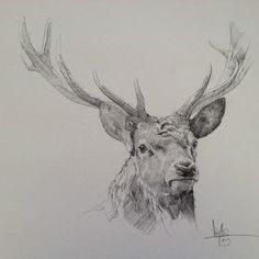 Red Stag study. A4 graphite on board. Tony O'Connor whitetreestudio.ie