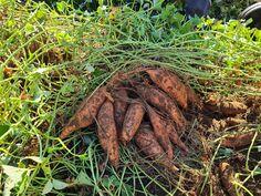 Suidafrika weblog   geïnteresseerde, soms kritische kijk Carrots, Vegetables, Food, Essen, Carrot, Vegetable Recipes, Meals, Yemek, Veggies