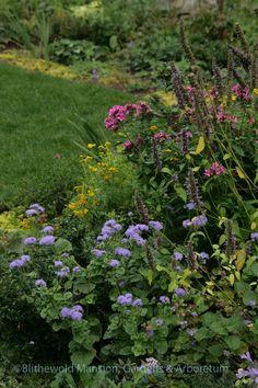 Ageratum 'Blue Horizon' and Phlox 'Natural Feelings' - September North Garden, Garden, Plants, Nature