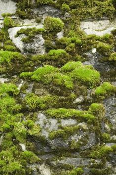 Some gardeners regard moss as an undesirable garden intruder and treat it as something to be eradicated. Others, however, appreciate the subtle beauty and tranquility of this simple plant. Moss can . Moss Grass, Moss Removal, Growing Moss, Moss Garden, Succulent Planters, Succulents Garden, Hanging Planters, Moss Plant, How To Make Terrariums