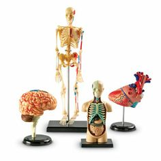 Learning Resources Anatomy Models Bundle Set Give kids a deeper understanding of how organs and internal systems interact by allowing them to manipulate the inner workings of the human body Human Body Model, Human Anatomy Model, Anatomy Models, Body Anatomy, Anatomy Organs, Muscle Anatomy, Medical Students, Medical School, Learning Resources