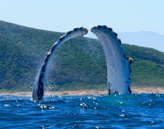Humpback Whale ~ pectoral fins