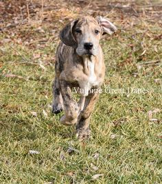 Brindle Merle Girl Merle Great Danes, Puppies, Dogs, Animals, Cubs, Animales, Animaux, Doggies, Baby Dogs