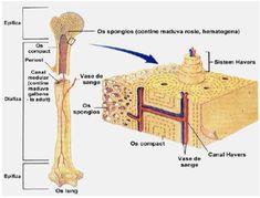Țesut conjunctiv dur Human Anatomy, Ale, Medicine, Biology, Anatomy, Ale Beer, Ales, Beer