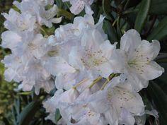 Rhododendron Park, Helsinki, Finland, Vegetables, Plants, Vegetable Recipes, Plant, Veggies, Planting