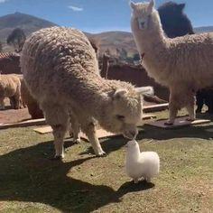 Baby Animals Super Cute, Cute Little Animals, Cute Funny Animals, Alpacas, Cute Alpaca, Baby Alpaca, Llama Pictures, Cute Animal Pictures, Cute Creatures