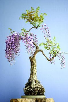 blooming Wisteria ~ Bonsai