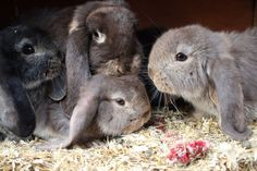 Too Cute Lop Buns