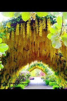 Vineyards (yellow grapes)