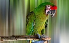 Free military macaw picture, Fullerton Edwards 2017-03-14