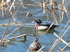 Wood Duck - High Park - Toronto - JL