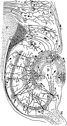 Santiago Ramón y Cajal - Drawing of the neural circuitry of the rodent hippocampus. Histologie du Système Nerveux de l'Homme et des Vertébrés, Vols. 1 and A. Ramones, Hippocampus Brain, Dopamine Receptor, Darkest Black Color, Brain Art, Detailed Drawings, Neurons, Creative Thinking, Neuroscience