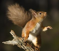 I have seen this red squirrel a number of times at my crested tit area but he…