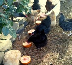 Natural wormer for chickens