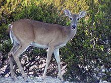 Doe, White-tailed deer