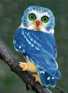 A rare bright blue owl