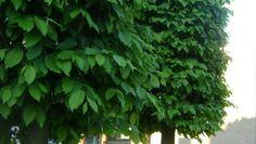 Garden Privacy Screen, Privacy Screens, Lei, Herbs, Herb, Medicinal Plants