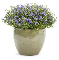 Beth's Blue® is a very heat tolerant annual, loved for its unique star shape and ability to add texture to containers and landscapes.