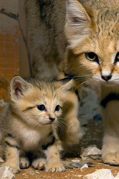 Arabian Sand Cat | Arabian-Sand-Cat-web