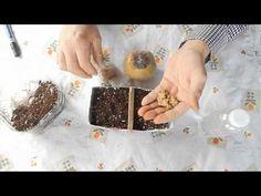 Como reproducir un árbol de membrillo por sus semillas (1ª Parte) //Destacados //Siembras - YouTube