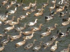 ducks - a view near my husband's village